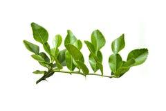 Bergamot leaves. Isolated on white background Stock Photo