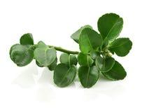 Bergamot leaves isolated on white background Stock Photo