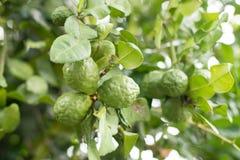 Bergamot and leaves on Tree , bergamot. Bergamot tree in the garden royalty free stock images