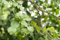 Bergamot and leaves on Tree , bergamot. Bergamot tree in the garden stock photo