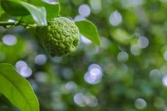 Bergamot and leaves on Tree Kaffir Lime. Bergamot and leaves on Tree , bergamot Kaffir Lime royalty free stock photos