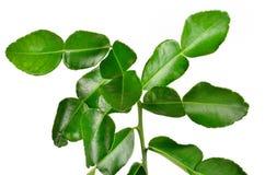 Bergamot leaves on white background Royalty Free Stock Images