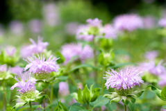 Bergamot mint. Flowers in the field royalty free stock photography