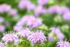 Bergamot mint. Flowers in the field stock images
