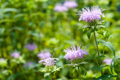 Bergamot mint. Flowers in the field royalty free stock images