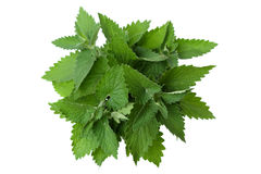 Bergamot mint Stock Photography