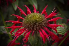 Bergamot Monarda Gardenview Scarlet bee balm herb plant royalty free stock image