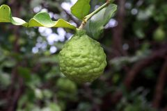 Bergamot on tree farm closeup, kaffir Lime Leaf garden royalty free stock photo