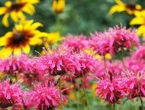 Bergamot och zinnia i trädgården Arkivfoton