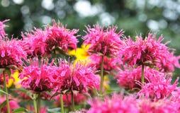 Bergamot och zinnia i trädgården Arkivbilder