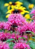 Bergamot och zinnia i trädgården Royaltyfri Foto