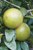 Bergamot orange fruits. Bergamot orange Citrus bergamia. Hybrid of Citrus limetta and Citrus aurantium probably royalty free stock photos