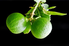 Bergamot orange hanging fruits with leaf isolated on black backg. Bergamot orange (Other names are Kaffir lime, Citrus Bergamia, Magnoliophyta lime, Rutaceae stock photo