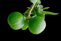 Bergamot orange hanging fruits with leaf isolated on black background. Bergamot orange (Other names are Kaffir lime, Citrus Bergamia, Magnoliophyta lime stock image