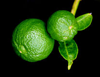 Bergamot orange hanging fruits with leaf isolated on black background. Bergamot orange Other names are Kaffir lime, Citrus Bergamia, Magnoliophyta lime, Rutaceae stock image