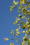 Bergamot orange tree with fruits and leaves Royalty Free Stock Photography