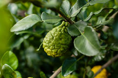 Bergamot på trädet (Kaffirlimefrukt) Royaltyfri Foto