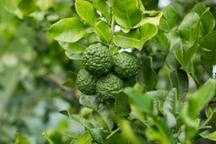 Bergamot på trädet (Kaffirlimefrukt) Royaltyfri Bild
