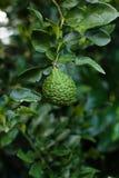 Bergamot på trädet (Kaffirlimefrukt) Arkivfoton