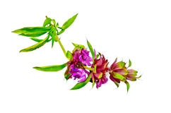 Bergamot with pink flowers. Sprig of bergamot with pink flowers and green leaves isolated on white background royalty free stock photo