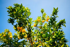 Bergamot plant and fruits Stock Image