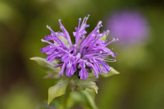 Bergamot plant, Monarda didyma Royalty Free Stock Photo
