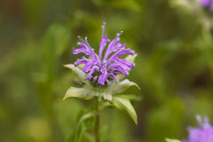 Bergamot plant, Monarda didyma Stock Photo