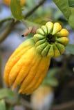 Bergamot on tree. Close up of Bergamot fruit on tree royalty free stock photo
