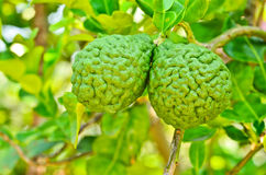Bergamot on Tree Royalty Free Stock Images