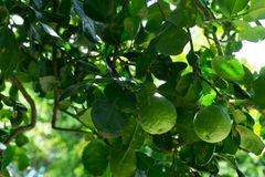 The bergamot on the tree.  stock photos