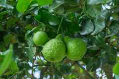 The bergamot on the tree.  stock photo