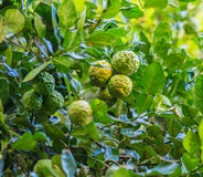 Bergamot. On the tree as the agriculture stock photo