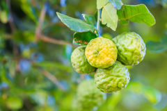 Bergamot. On the tree as the agriculture stock image