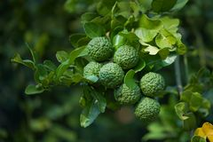 Bergamot on Tree. In Thailand royalty free stock photo