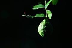 Bergamot on Tree Royalty Free Stock Images