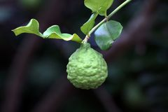 Bergamot on tree farm closeup, kaffir Lime Leaf garden royalty free stock photos