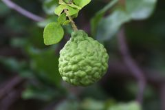 Bergamot on tree farm closeup, kaffir Lime Leaf garden stock photos