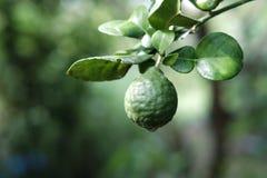 Bergamot on tree Royalty Free Stock Image