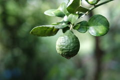 Bergamot on tree. Fresh bergamot on tree bokeh background royalty free stock image