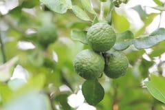 Bergamot on the tree. Fresh bergamot on the tree, Thai herb stock image