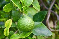 Bergamot on Tree in gaden bergamot. For Bergamot Oil royalty free stock photo