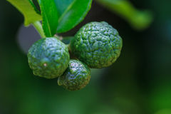 Bergamot on Tree. In gaden, bergamot (Kaffir Lime) fruits royalty free stock photography