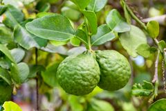 Bergamot on Tree in gaden bergamot. For Bergamot Oil stock photos