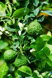 Bergamot on Tree Stock Photo