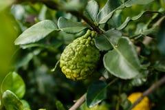 Bergamot on Tree (Kaffir Lime). Single of fresh bergamot and bergamot leaves on tree royalty free stock photo