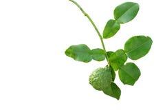Bergamot tree with leaf. Isolate on white royalty free stock photos