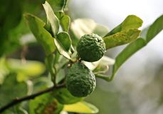 Bergamot on Tree Royalty Free Stock Photo