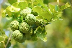 Bergamot on Tree. In Thailand stock photography
