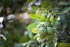 Bergamot on Tree. In Thailand stock photo
