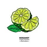 Bergamot vector drawing. Isolated vintage illustration of citru. S fruit with slices. Organic food. Essential oil colorful sketch. Beauty and spa, cosmetic and royalty free illustration